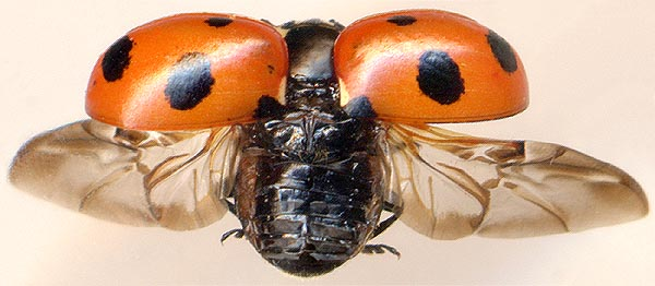 Как устроены надкрылья жуков